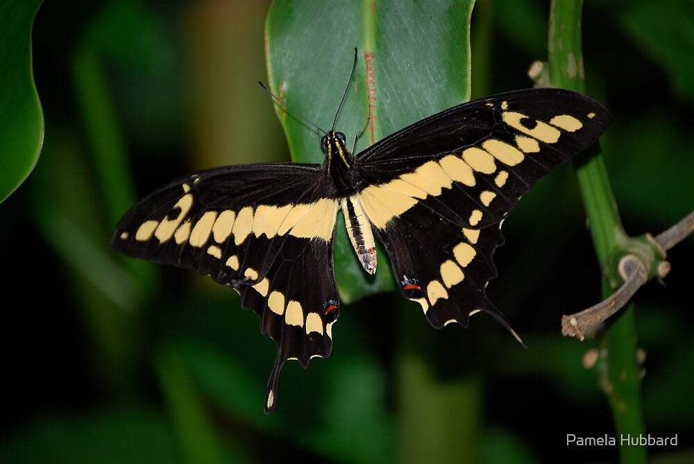 Swallowtail by Pamela Hubbard
