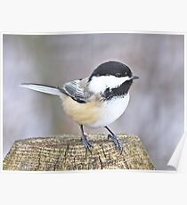 Chickadee on a used to be tree Poster