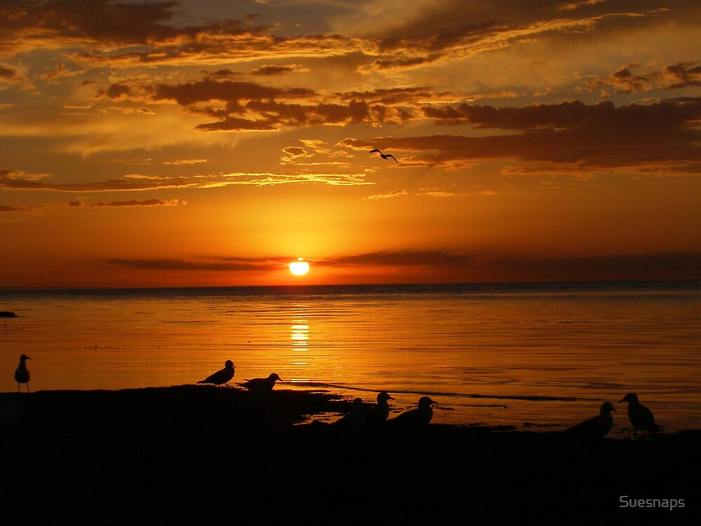 Wading Gulls by Suesnaps