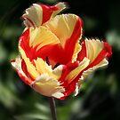 Dancing Parrot Tulip by Svenbj