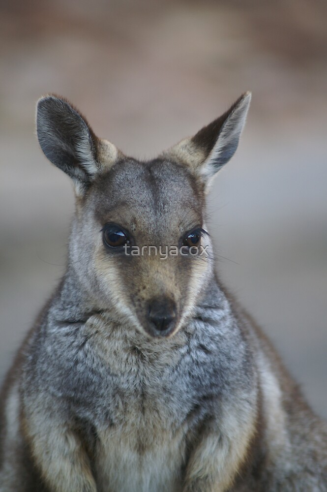 whistful wallaby by tarnyacox