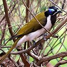 Blue faced honeyeater by Doug Cliff