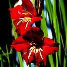 red glads by vickybee