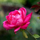 Pink Double Knockout Rose by Dency Kane