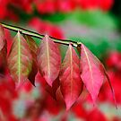 Euonymus alatus Leaves by Dency Kane