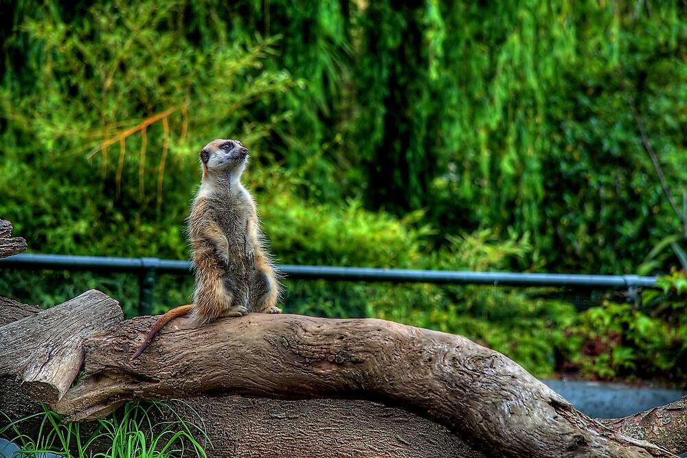 Meerkat by Eben Venter