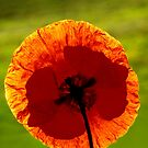 Orange Poppy by Dency Kane