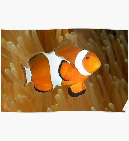 Western Clown Anemonefish Poster