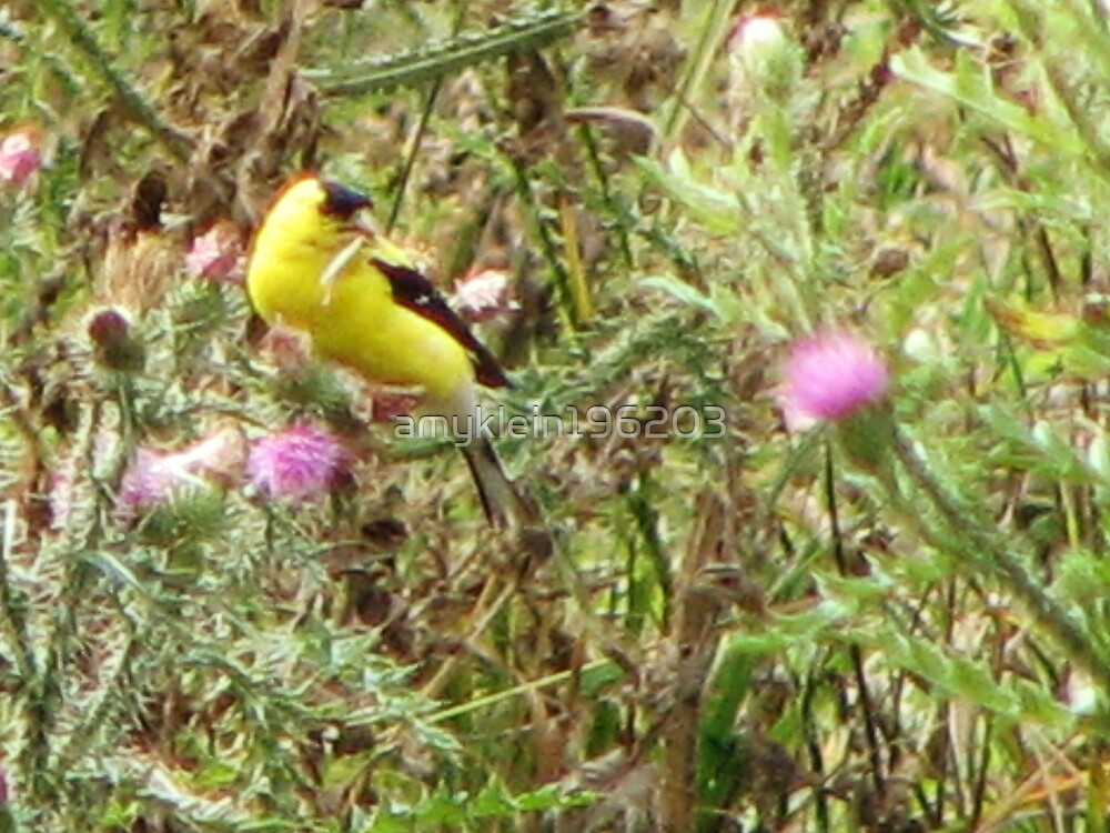 American Goldfinch Nest Building by amyklein196203