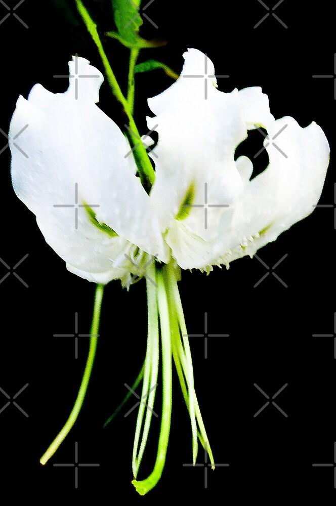 Glendurgan White by Catherine Hamilton-Veal  ©