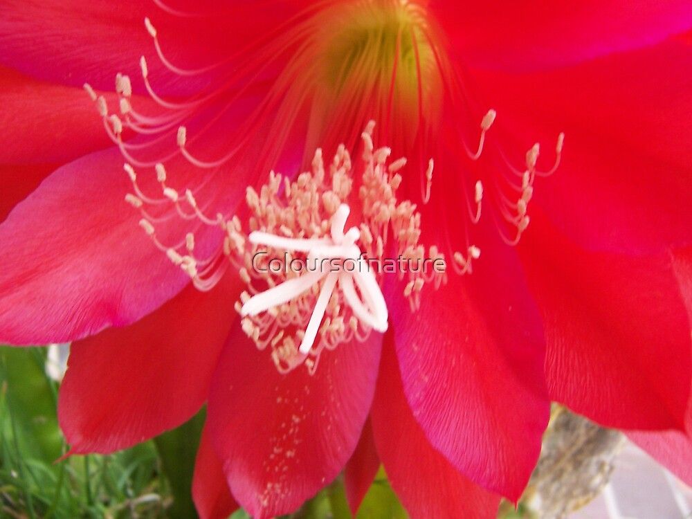 Red Cactus Flower by Coloursofnature