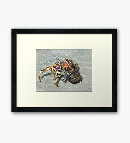 Robber Crab - Christmas Island Framed Print