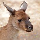 Kangaroo by Doug Cliff