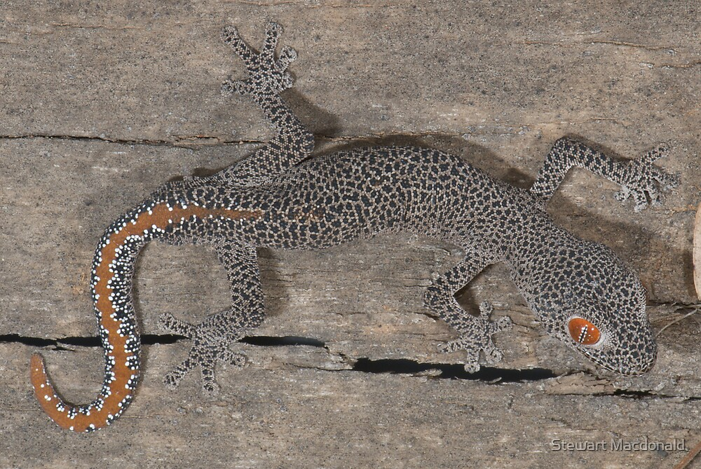 Golden-tailed gecko by Stewart Macdonald