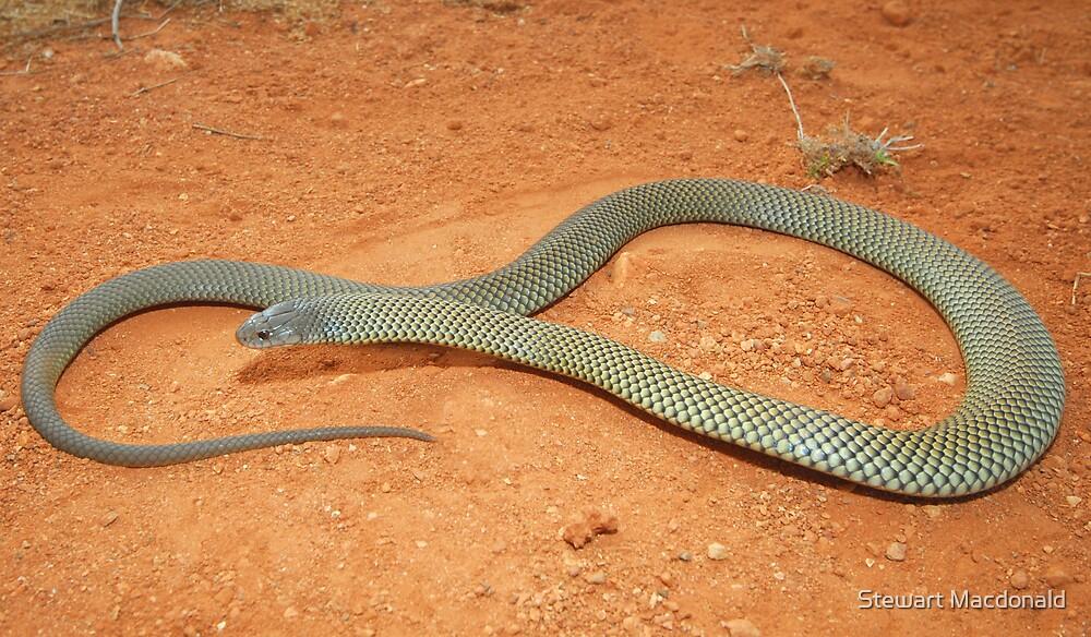 Mulga snake by Stewart Macdonald