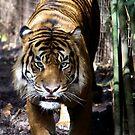 Tiger Tiger by Prismatique