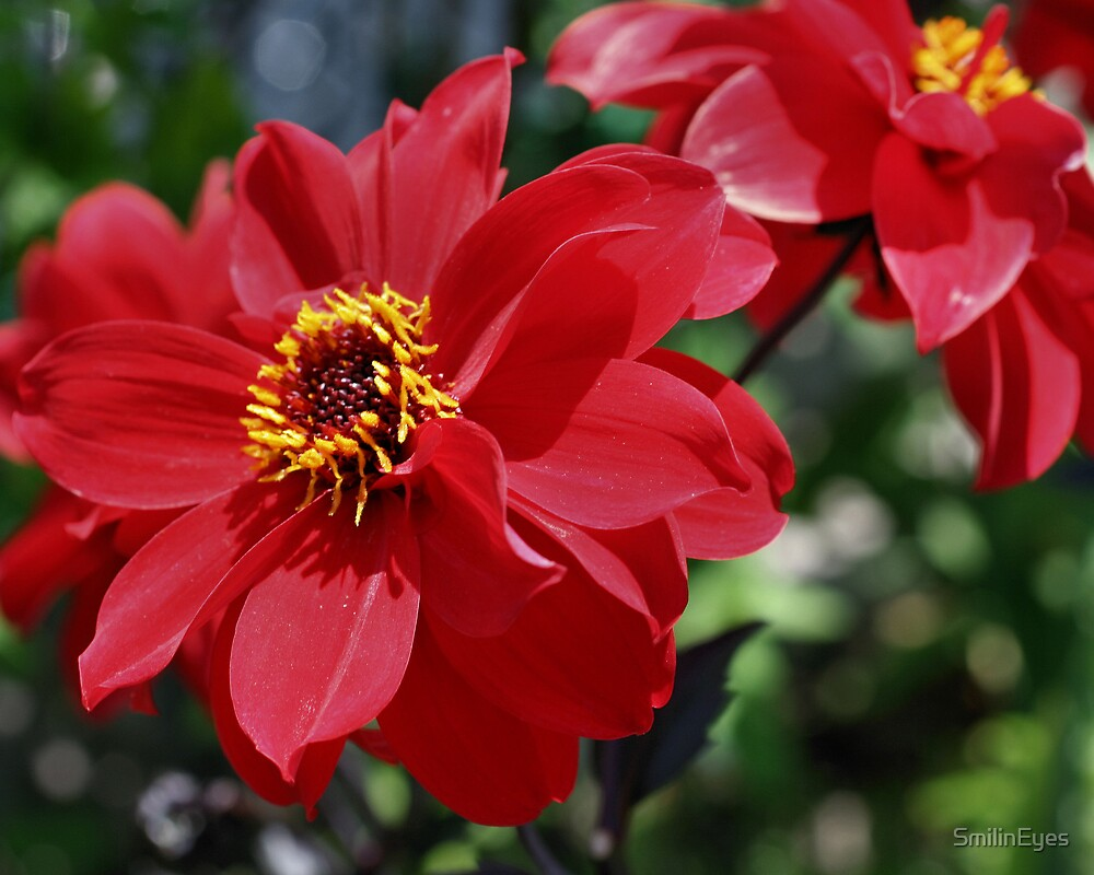 Cheery Red Dahlia Flower by SmilinEyes