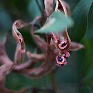 Tasmanian Blackwood by michellerena
