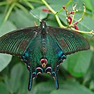 Chinese Peacock Butterfly by Robert Abraham