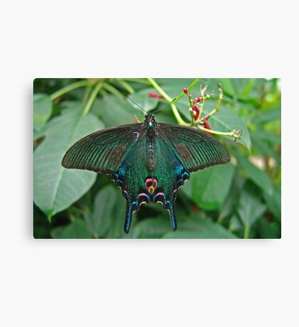 Chinese Peacock Butterfly Canvas Print