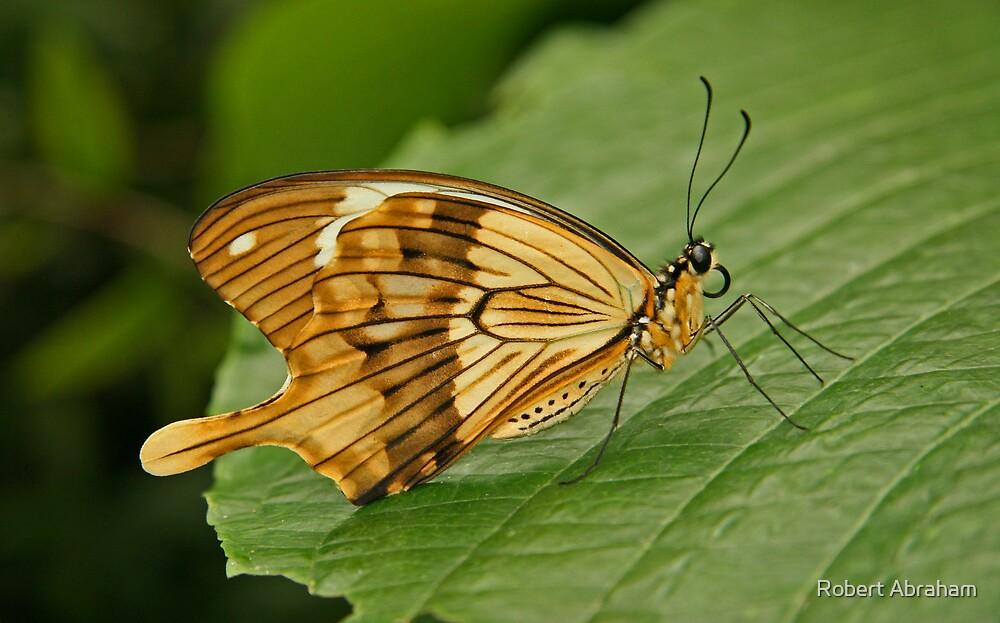 African Swallowtail by Robert Abraham