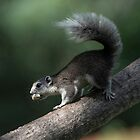 Asian Squirrel (I) by DonMc