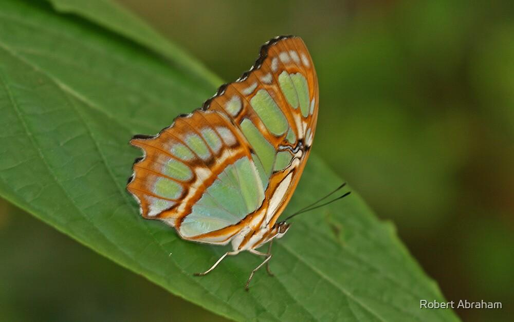 Malachite Butterfly by Robert Abraham