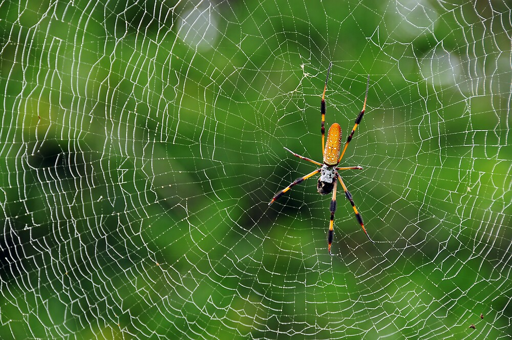Image result for golden silk orb weaver spider