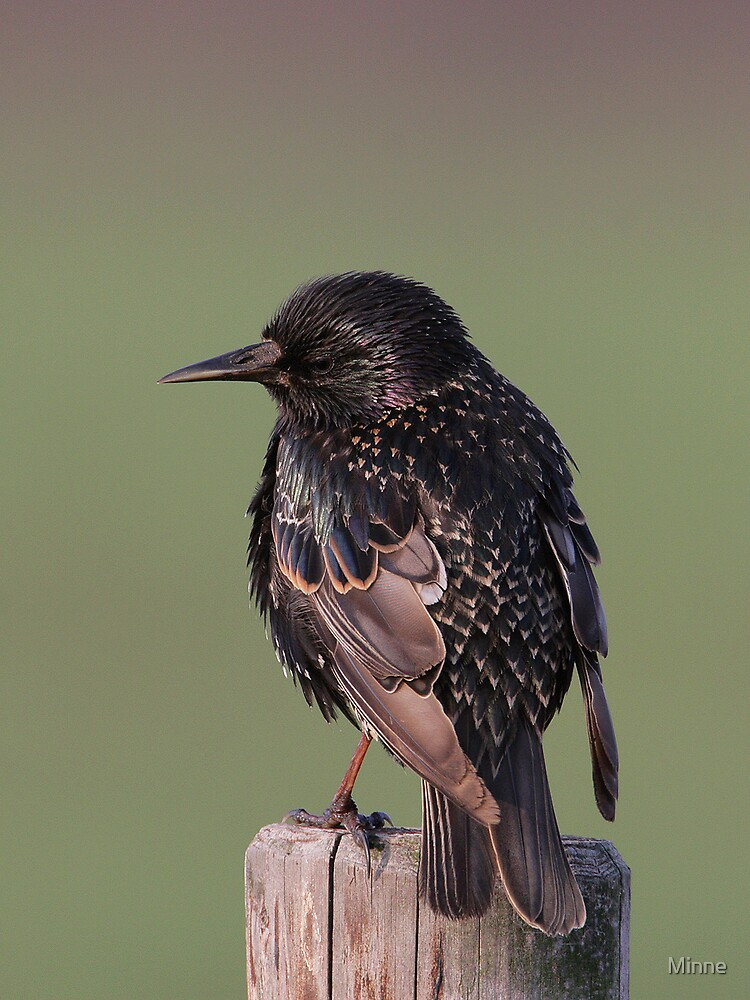 Starling. by Minne