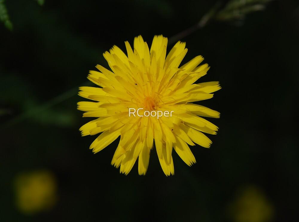 Common Dandelion (Taraxicum officinale) by RCooper