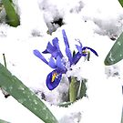 Snowy Flowers Happy Thanksgiving by davesphotographics