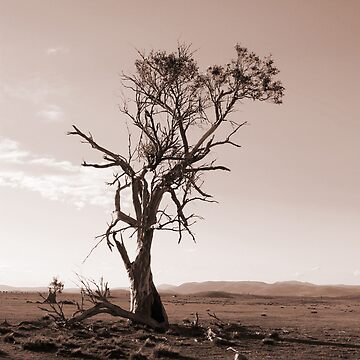 Lonely old Paddock Tree by outafocus