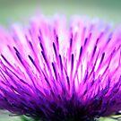 Thistle Flower by Svenbj
