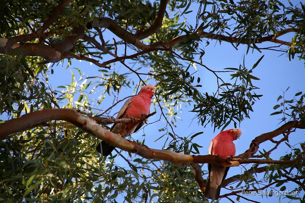 Curious Cockatoos by Ilene Baumgardner