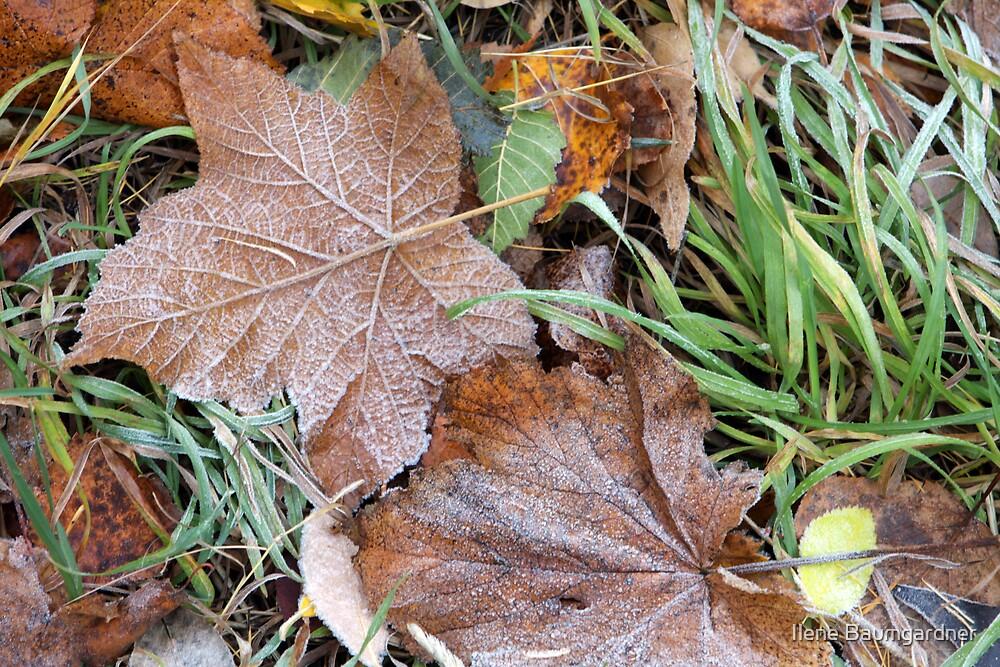 Frosty Maple Leaves by Ilene Baumgardner
