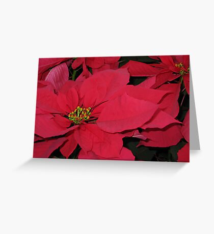 Red Pointsetta Greeting Card