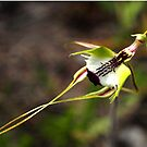 Green Comb Spider Orchid (Caladenia dilatata) by Bev Pascoe