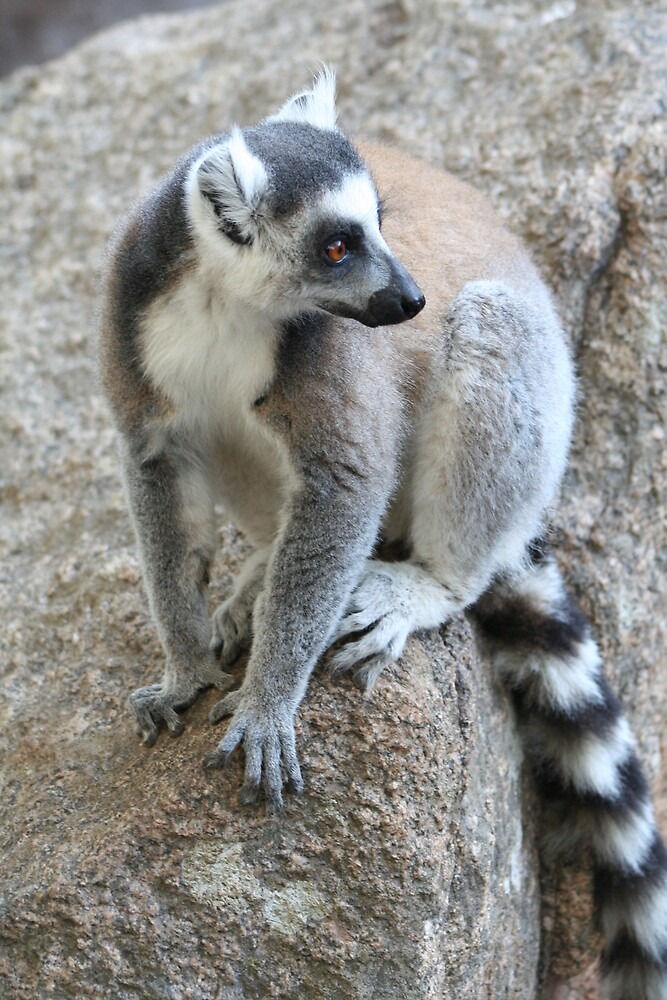 Ring-tailed Lemur by Karen Millard