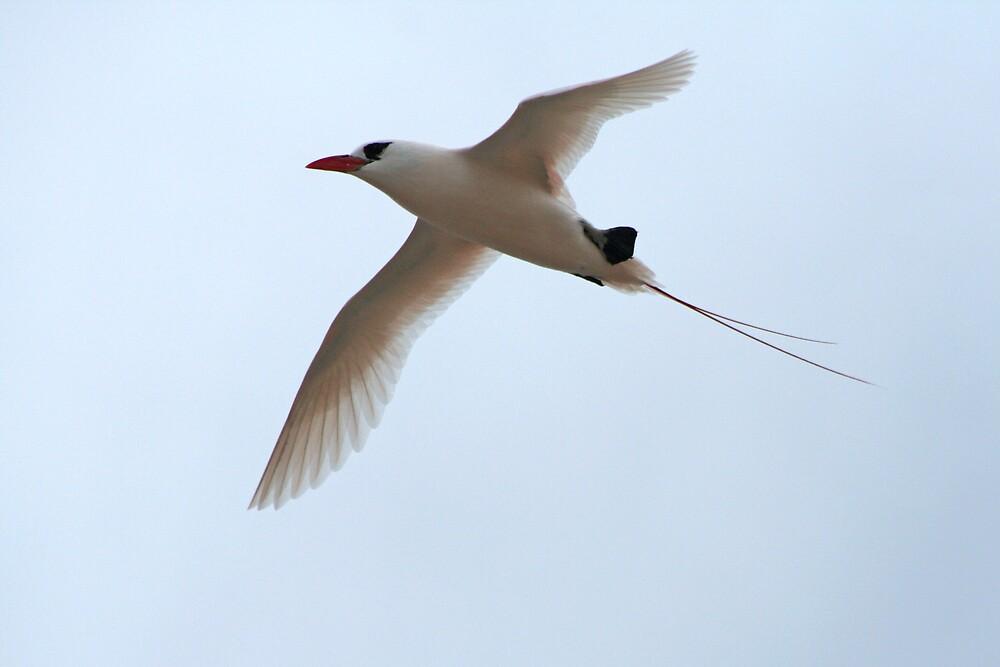 red-tailed Tropicbird by Karen Millard