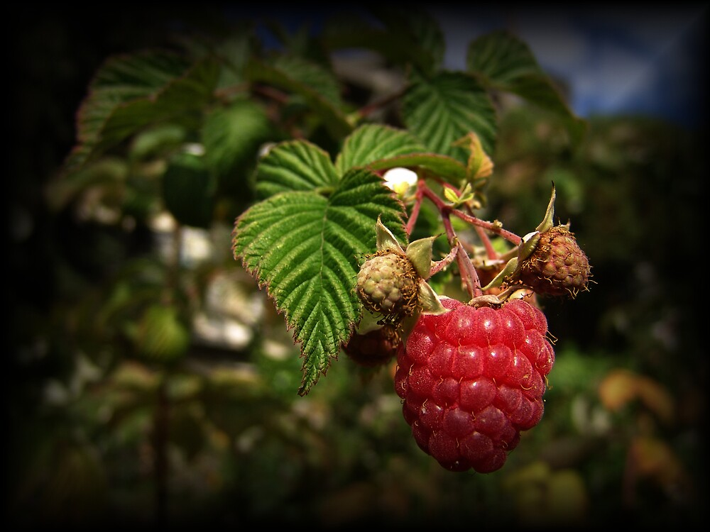 Raspberry by Chris Filer