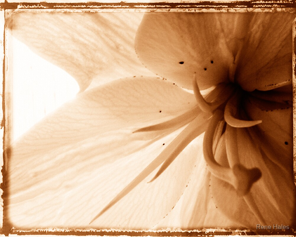 Sepia Flower by Rene Hales