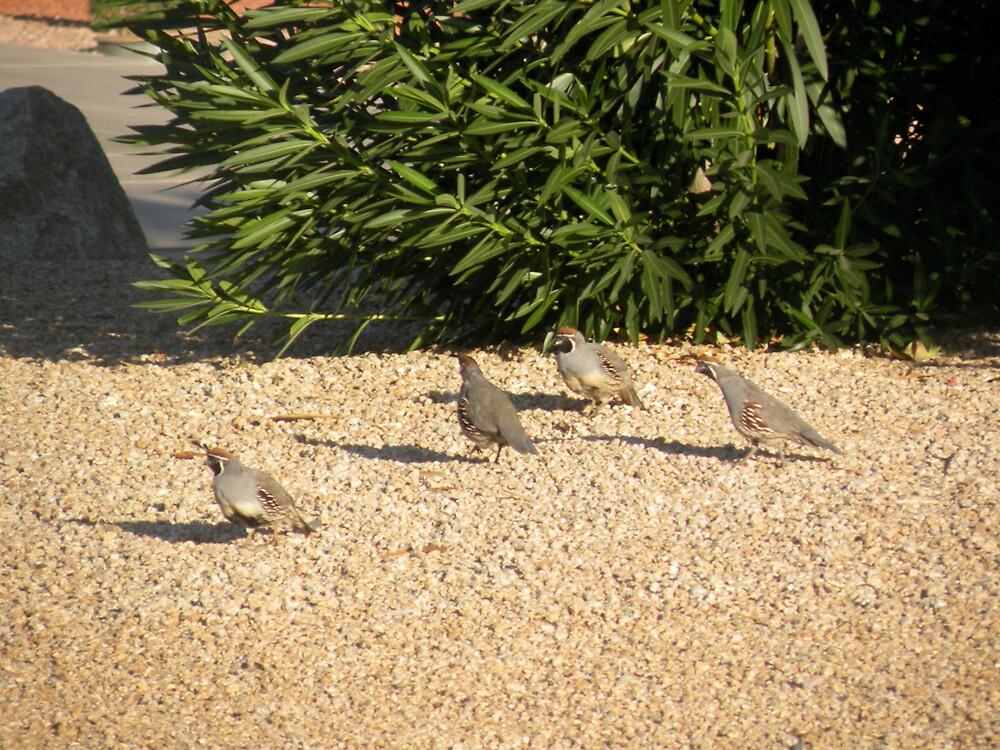 Quail run in the back yard ! by Bonnie Pelton