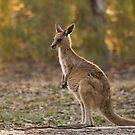 Eastern Grey Kangaroo by David de Groot