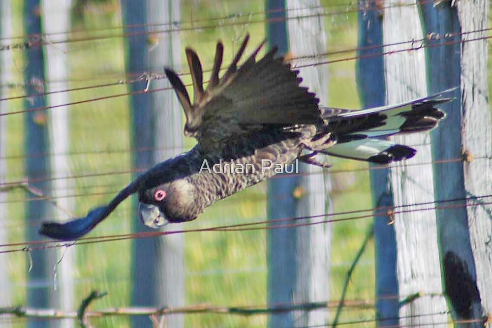 Carnaby's Black Cockatoo, Western Australia (Y) by Adrian Paul