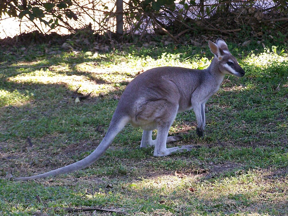 Whiptail Wallaby by heyitsmefi