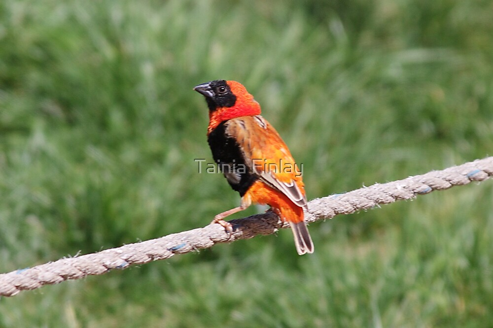 Red Bishop by Tainia Finlay