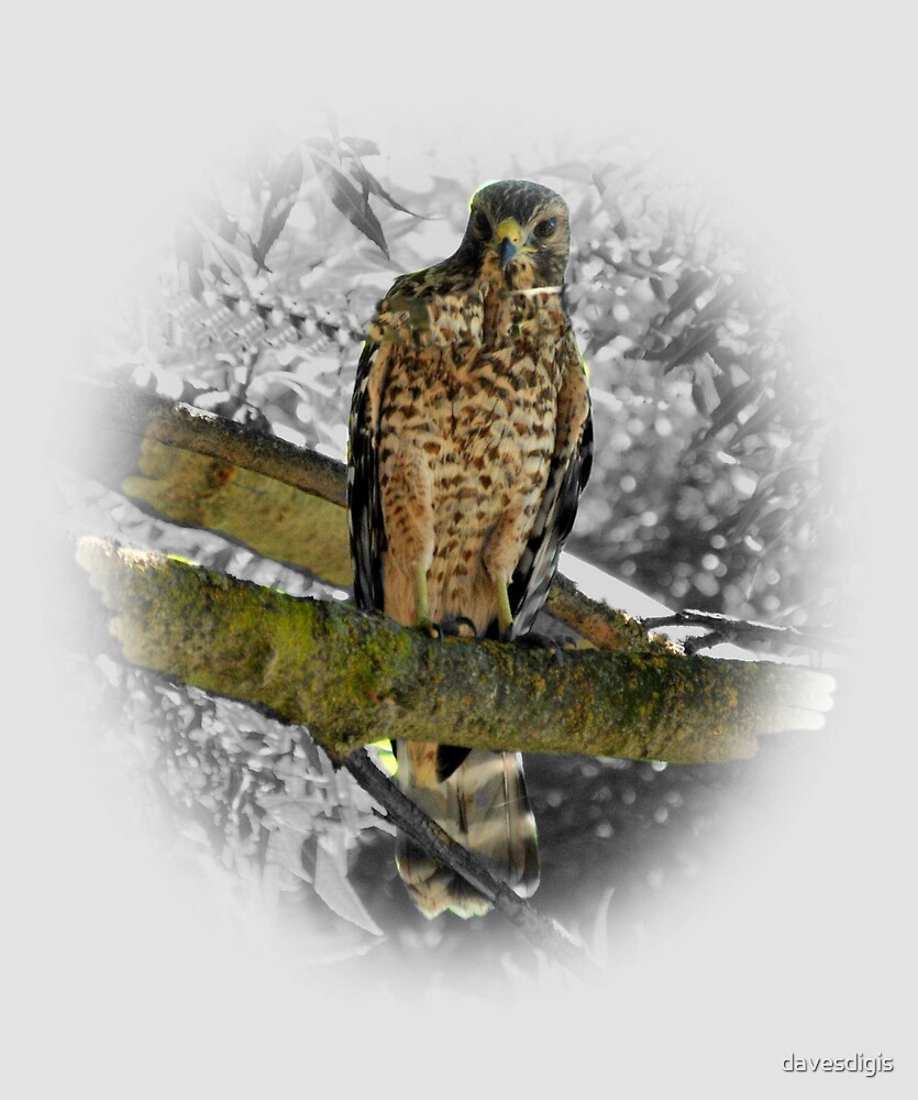 A Visiting .............Lady Hawk by davesdigis