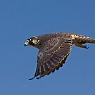 Peregrine by Marvin Collins