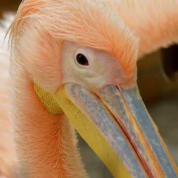 Awesome Pelican Bird by BFN1978