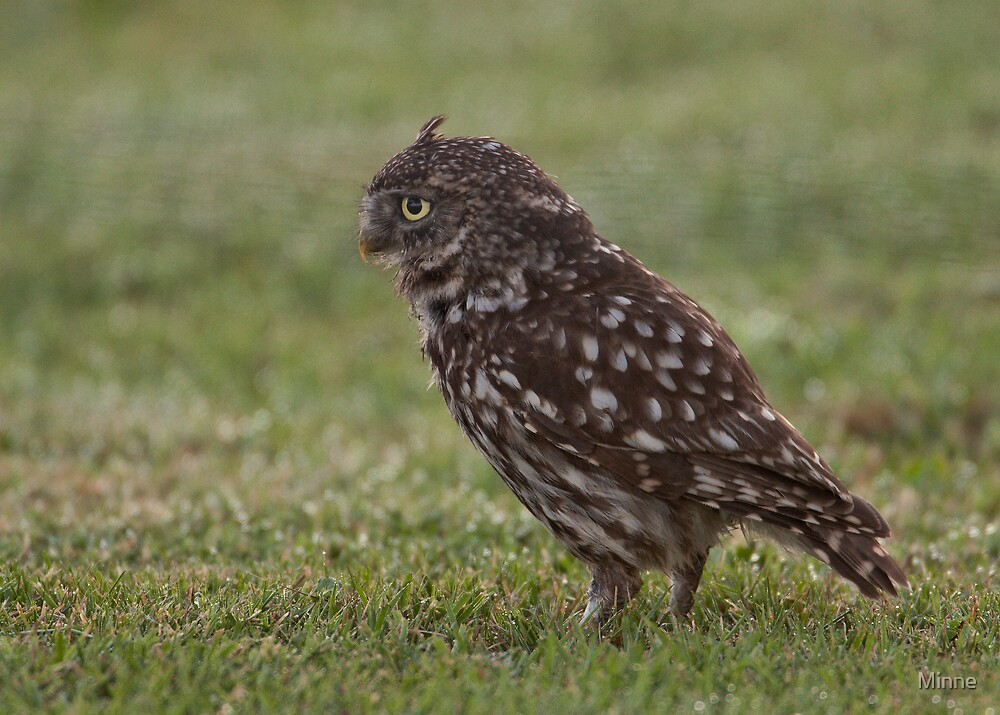 Litlle-owl - Steenuil - Athene noctua by Minne